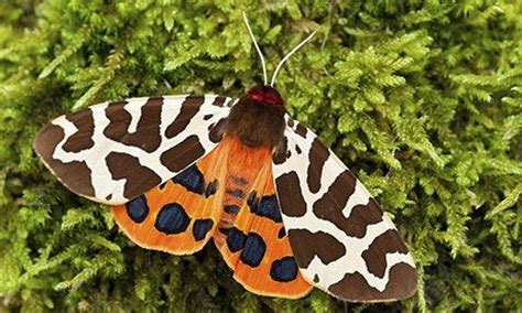 Garden Tiger Moth by The Signature Of All Things By Elizabeth Gilbert Review