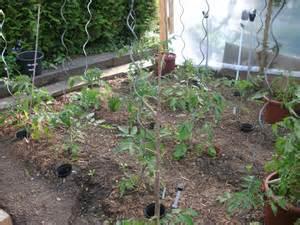 tomaten anpflanzen garten tomaten in den garten pflanzen tomatenvielfalt