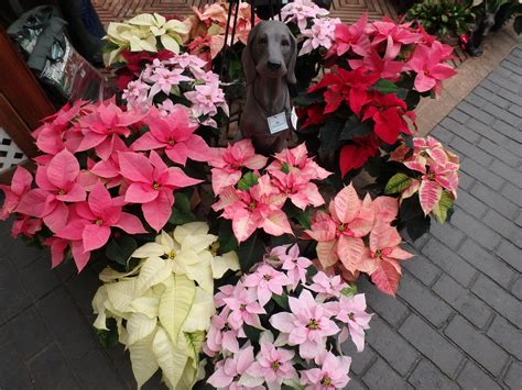 top 28 what colors do poinsettias come in old stuff