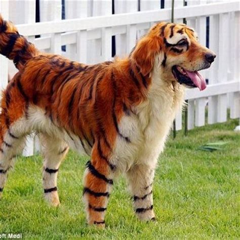 hybrid dogs tiger and hybrid s truly best friend