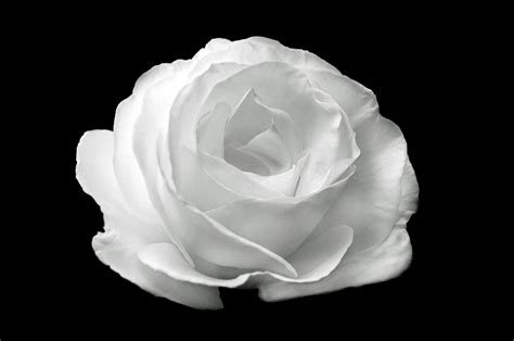 wallpaper black and white roses white rose on the black background free stock photo