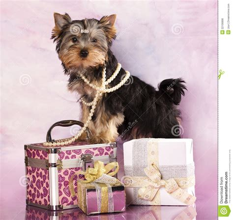 gifts for your yorkie terrier and gifts royalty free stock image image 22106896