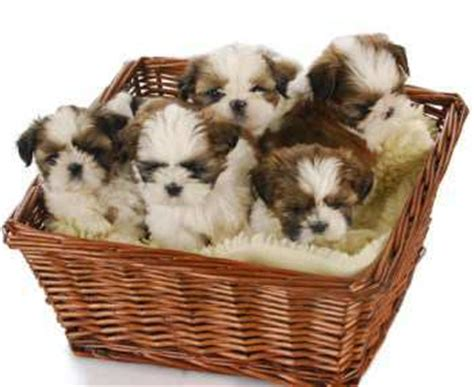 how many puppies can a shih tzu shih tzu informaton center your tzu