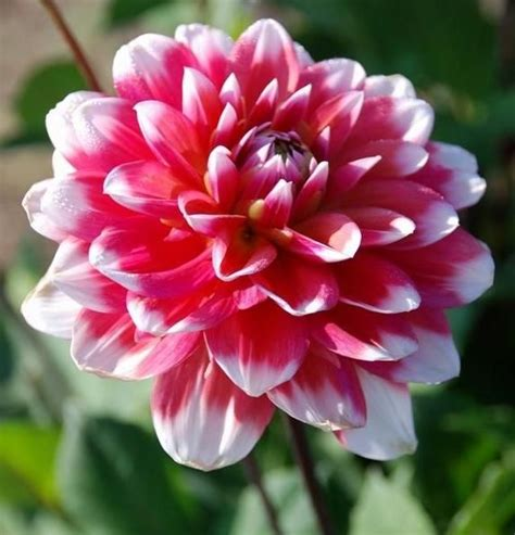 Madu Bihophar Summer Flower 5562 best images about dahlia s on houses purple dahlia and summer bulbs