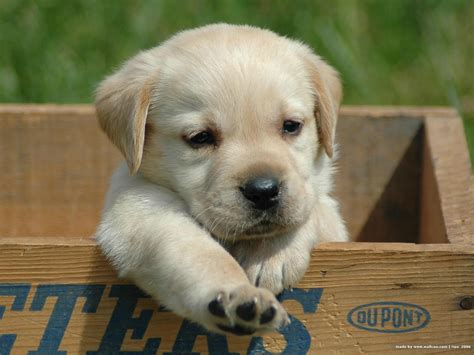 lab puppy pictures labrador retriever puppy photo and wallpaper beautiful labrador retriever