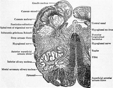 Transverse Section Of Medulla Oblongata by 1911 Encyclop 230 Dia Britannica Brain Wikisource The Free