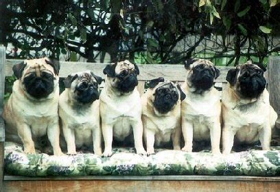 a grumble of pugs a grumble of pugs pug puppy pugs best breed