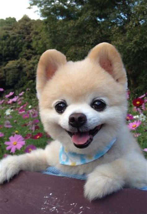 shunsuke pomeranian 62 best images about my puppy on pets puppys and