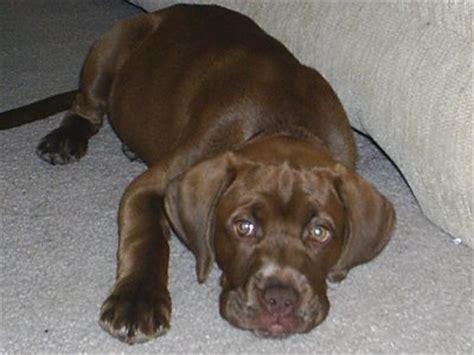 black lab boxer mix puppy boxador boxer lab mix info temperament puppies pictures