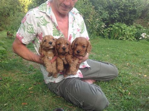 cocker spaniel puppy for sale working cocker spaniel puppies for sale axminster pets4homes