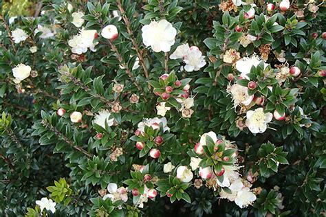 myrtle plant plants flowers 187 myrtus communis