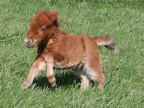 mini pony baby mini ponies miniature babyanimals horses ponies