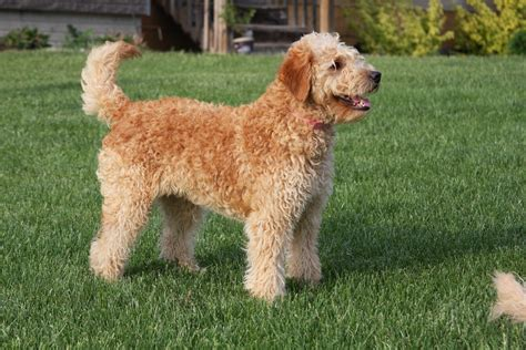 mini goldendoodles oklahoma f2b mini goldendoodle puppies breeds picture