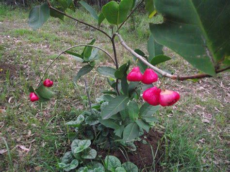 jambu fruit tree forum wax jambu