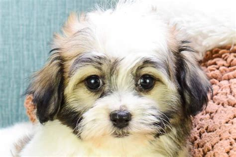 havanese mi image gallery havanese puppies adoption