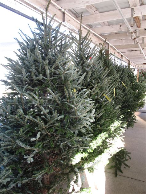 buying planting a live christmas tree what grows there