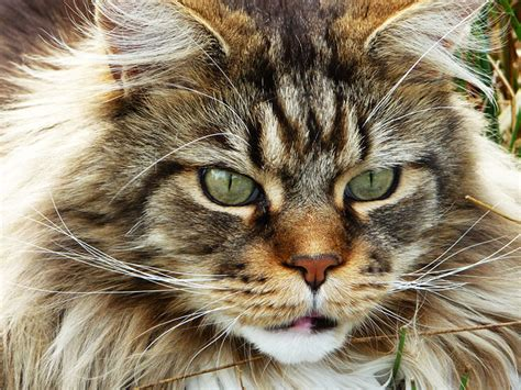 imagenes de leones y gatos gato maine coon maine coon precio origen petdarling com