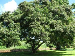Hardest Plants To Grow 9 philippine native trees better than cherry blossoms