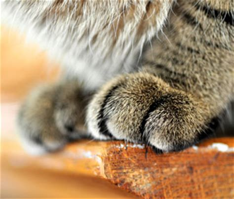 can you declaw a can dogs be declawed 28 images declaw surgery for cats can you declaw a animalso