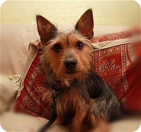 yorkie rescue ny new york ny yorkie terrier chihuahua mix meet tobey a for adoption