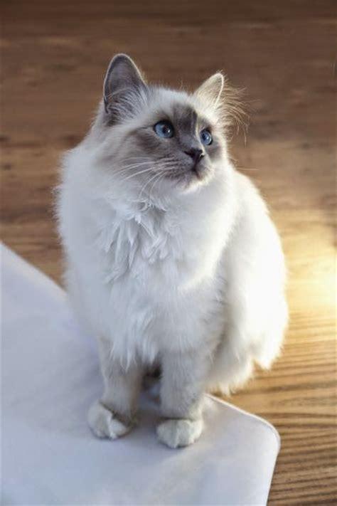 friendliest breeds dogs and cats 10 most friendliest cat breeds