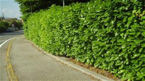 siepe da giardino 10 piante ideali per siepi da giardino