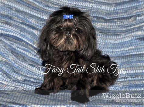 black teacup shih tzu solid black tiny teacup imperial shih tzu puppy breeds picture