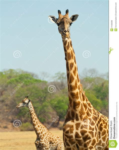 what color are giraffes giraffe royalty free stock images image 31456299