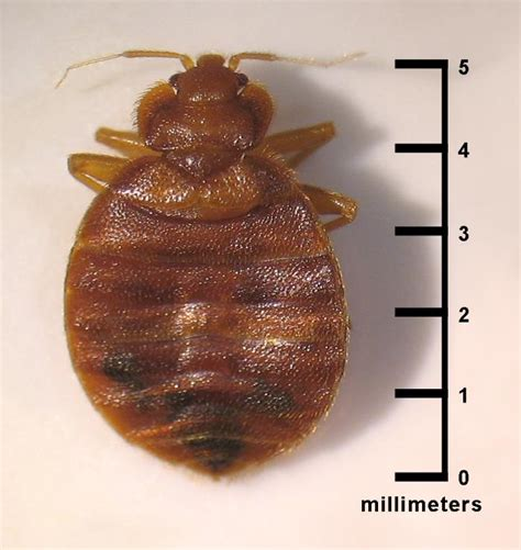 bed bug pictures actual size bed bugs fort wayne allen county department of health
