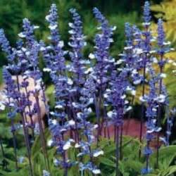 Bibit Benih Bunga Blue bibit bunga blue
