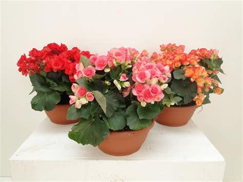 piante fiorite da appartamento foto piante fiorite da appartamento gpsreviewspot