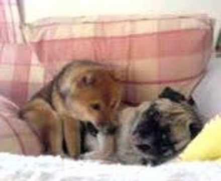 shiba pug shiba and pug