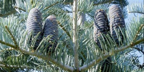 hich christmas tree smells the best which tree is the most fragrant the best smelling tree