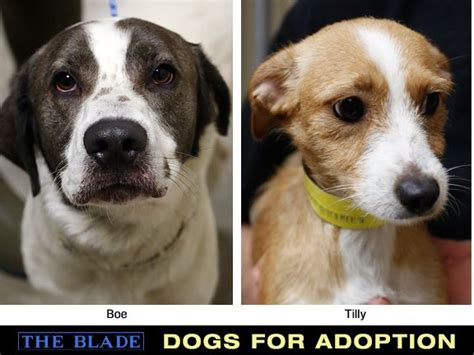 puppies for adoption toledo ohio lucas county dogs for adoption 06 14 13 the blade