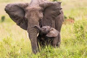 this adorable baby elephant wrestle with a tourist