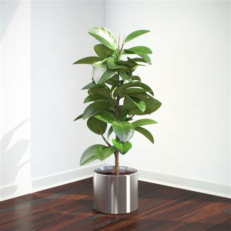 ficus elastica plant ficus elastica 3d max