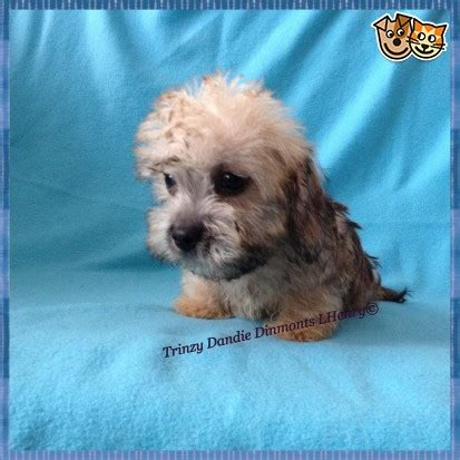 puppy dandie dinmont terrier puppy for your birthday dandie dinmont terrier puppies for sale ormskirk