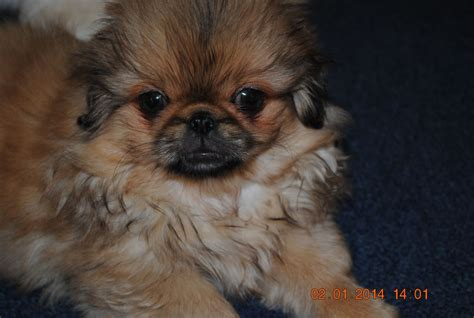 pekingese puppies for sale pin pekingese puppies on