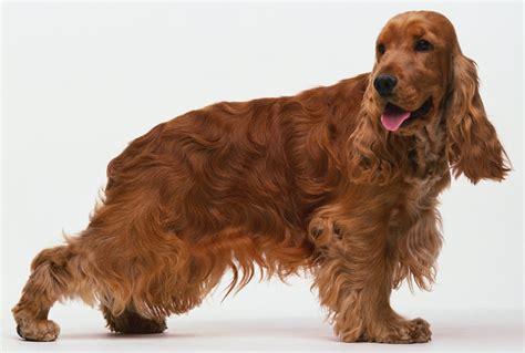 imagenes de english cocker spaniel cocker spaniel ingl 233 s perros cocker spaniel raza de perros