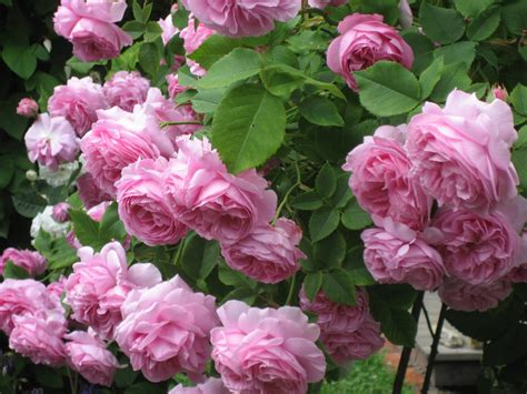Garden Roses by Garden Roses With Beloved 171 Green Pastures