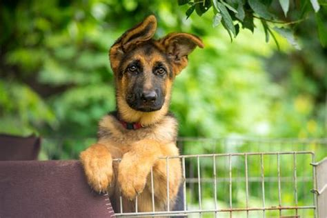 k9 breeds k9 dogs 22 facts about breeds more
