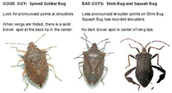 What Zone Am I In For Gardening - stoldier stink and squash bugs how to tell