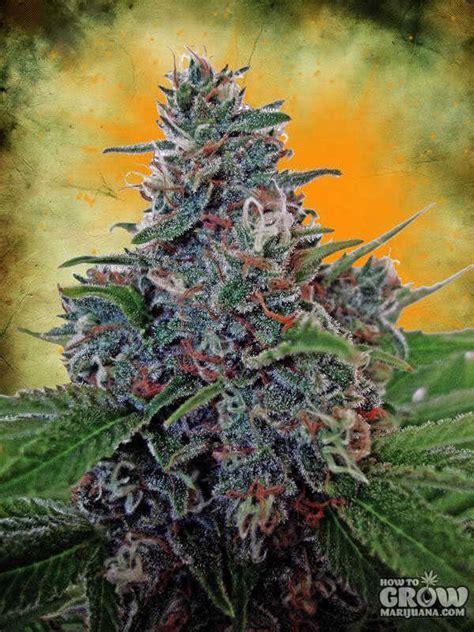 ministry  cannabis auto blue amnesia autoflowering