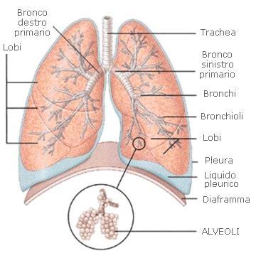 organi interni addome lato destro apparato respiratorio mappa concettuale