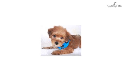 apricot yorkie poo yorkie poo puppy one gold yorkie poo the breeds picture