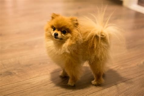 how big are teacup pomeranians teacup pomeranian names dogtime