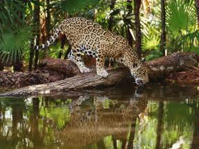 Jaguar In Forest Qq Wallpapers Jaguars Are The Of South America S