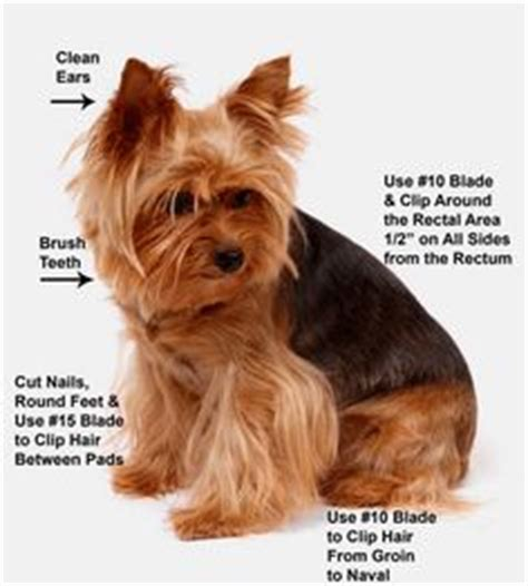 how to groom a yorkie yourself how to groom a terrier quot yorkie quot puppy cut do it yourself pet grooming