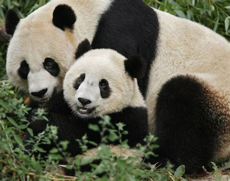 Panda With by Panda With Baby Photos Baby Animals With Their