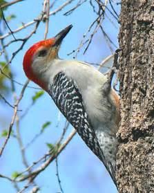 red bellied woodpecker 171 oklahoma city audubon society